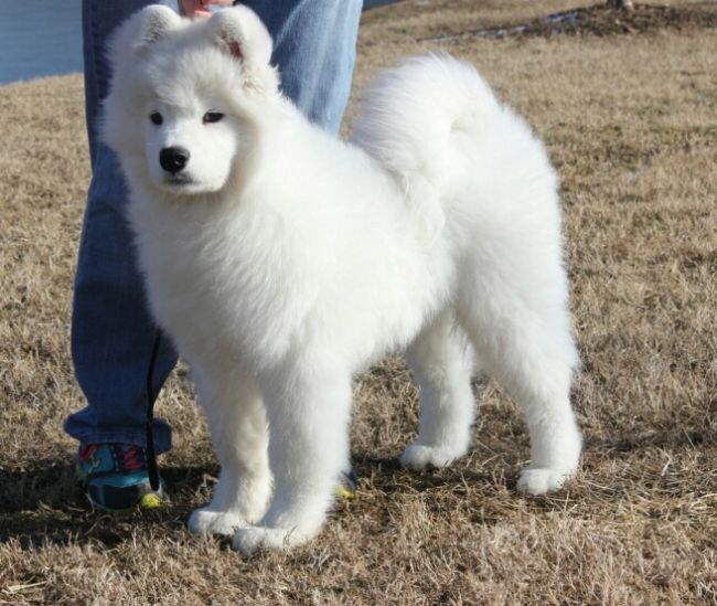In show at 4 months old white magic samoyeds in brookfield ct