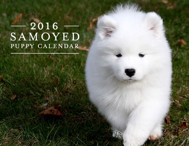 Samoyeds purebred studs breeders and puppies in brookfield ct