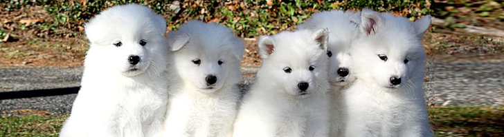Cost Of A Puppy White Magic Samoyeds