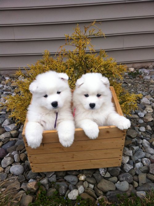 Puppy gallery white magic samoyeds in brookfield ct