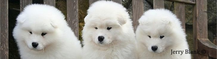 White Magic Samoyeds Purebred Studs Breeders And Puppies In