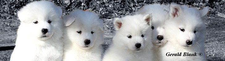 Samoyed For Sale >> White Magic Samoyeds Purebred Studs Breeders And Puppies In