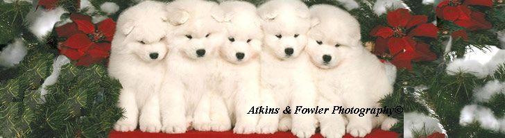 Miniature Samoyed Puppies For Sale