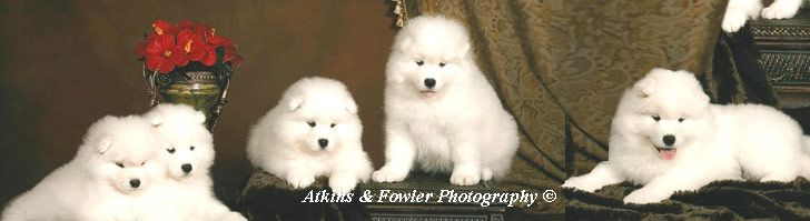 White Magic Samoyeds: Purebred studs, breeders, and puppies