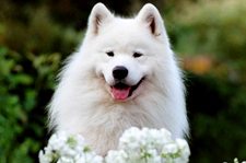 About the samoyed breed white magic samoyeds in brookfield ct